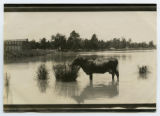 [Cow in a pond]