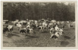 [Holstein herd at the dairy farm]